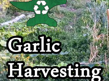 Harvesting Garlic with a Broadfork